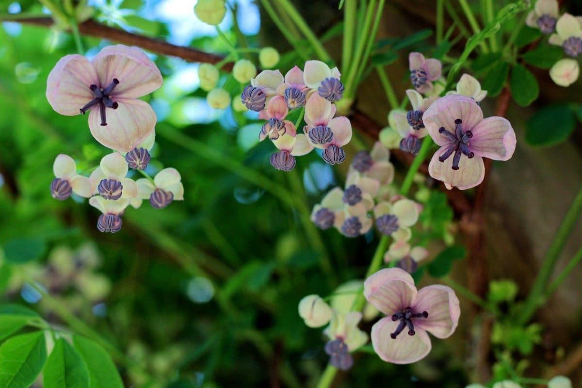 La Akebia quinata es un trepadora de flores lilas
