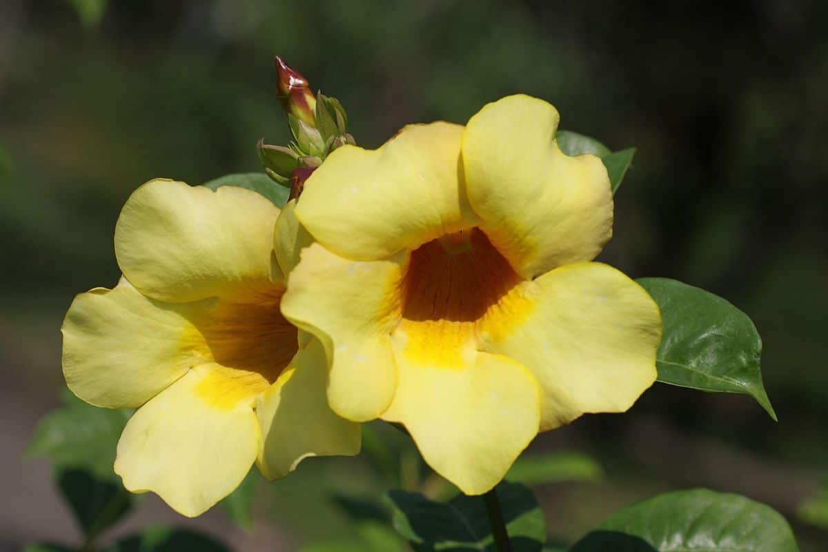 La Allamanda es una planta trepadora perenne de crecimiento rápido