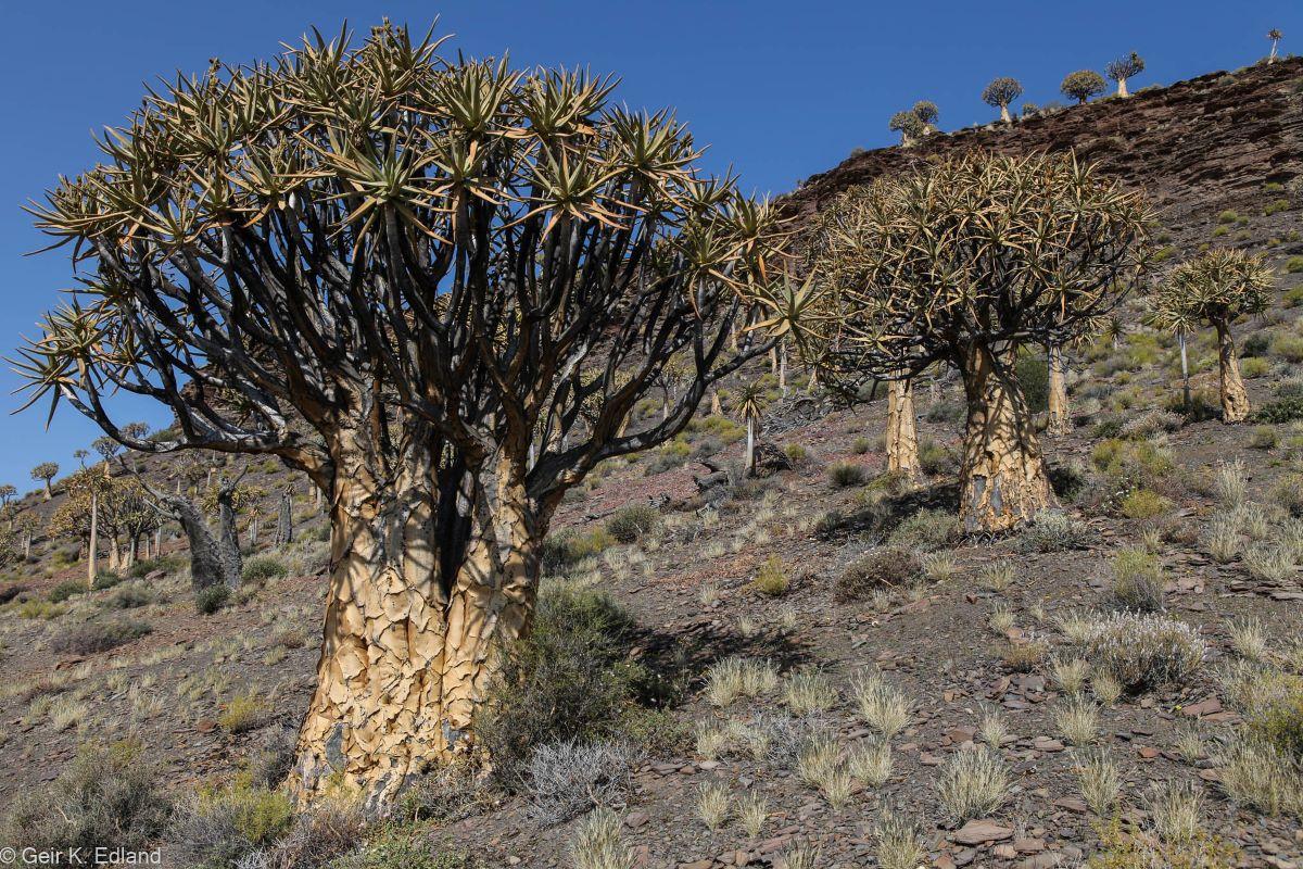 El aloe dichotoma es una suculenta arbórea