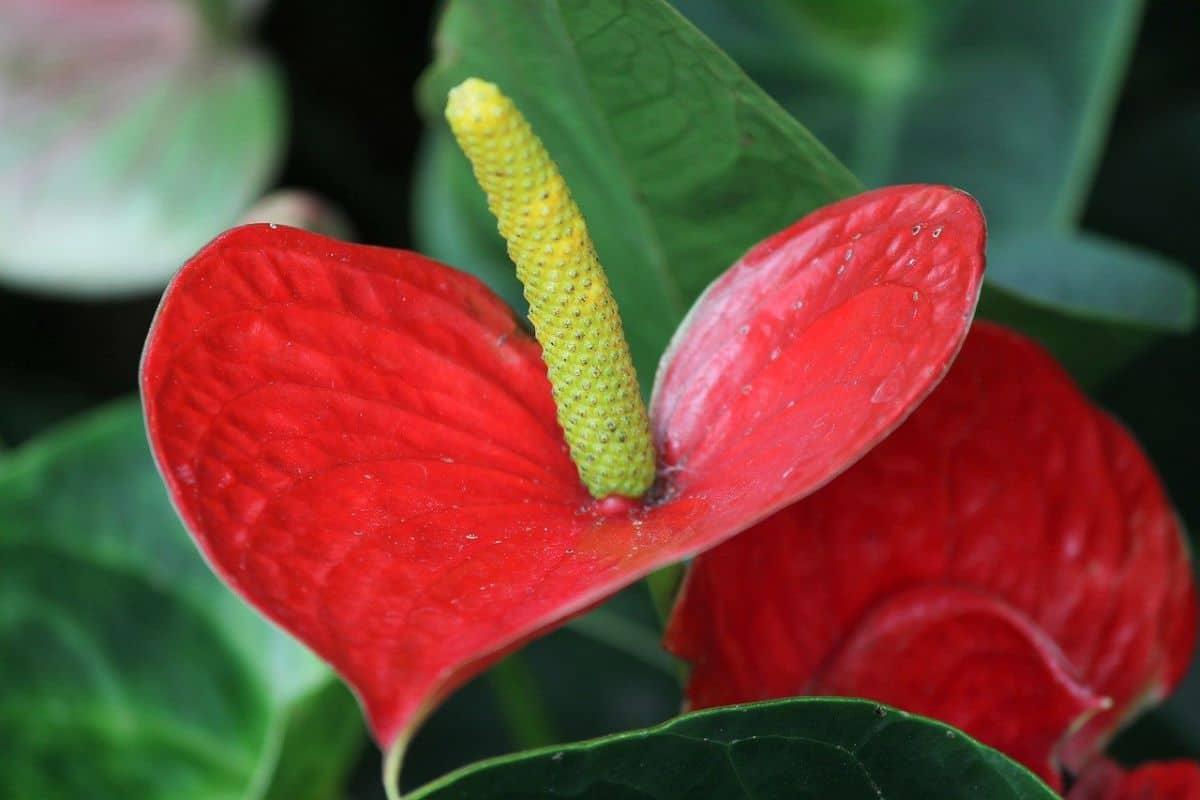 El Anthurium es una planta herbácea tropical