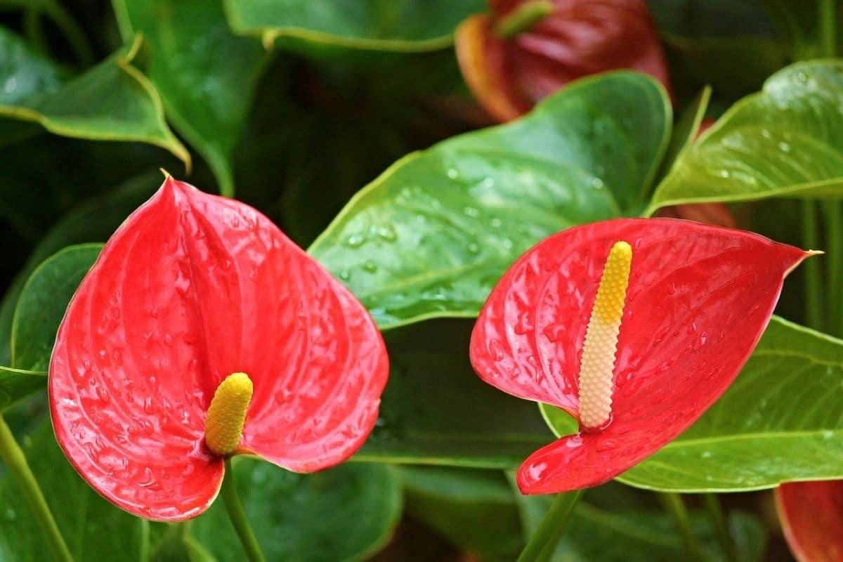 Los anturios son plantas herbáceas perennes