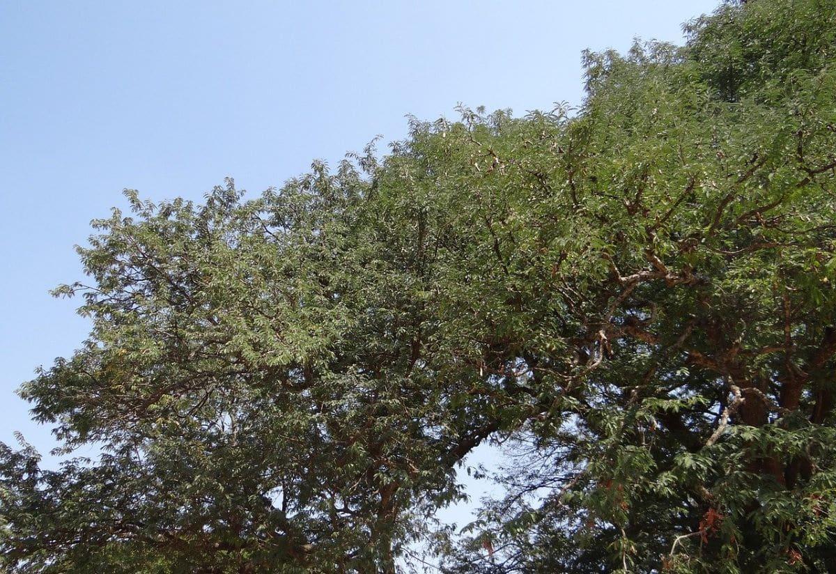 El tamarindo es un árbol de rápido crecimiento
