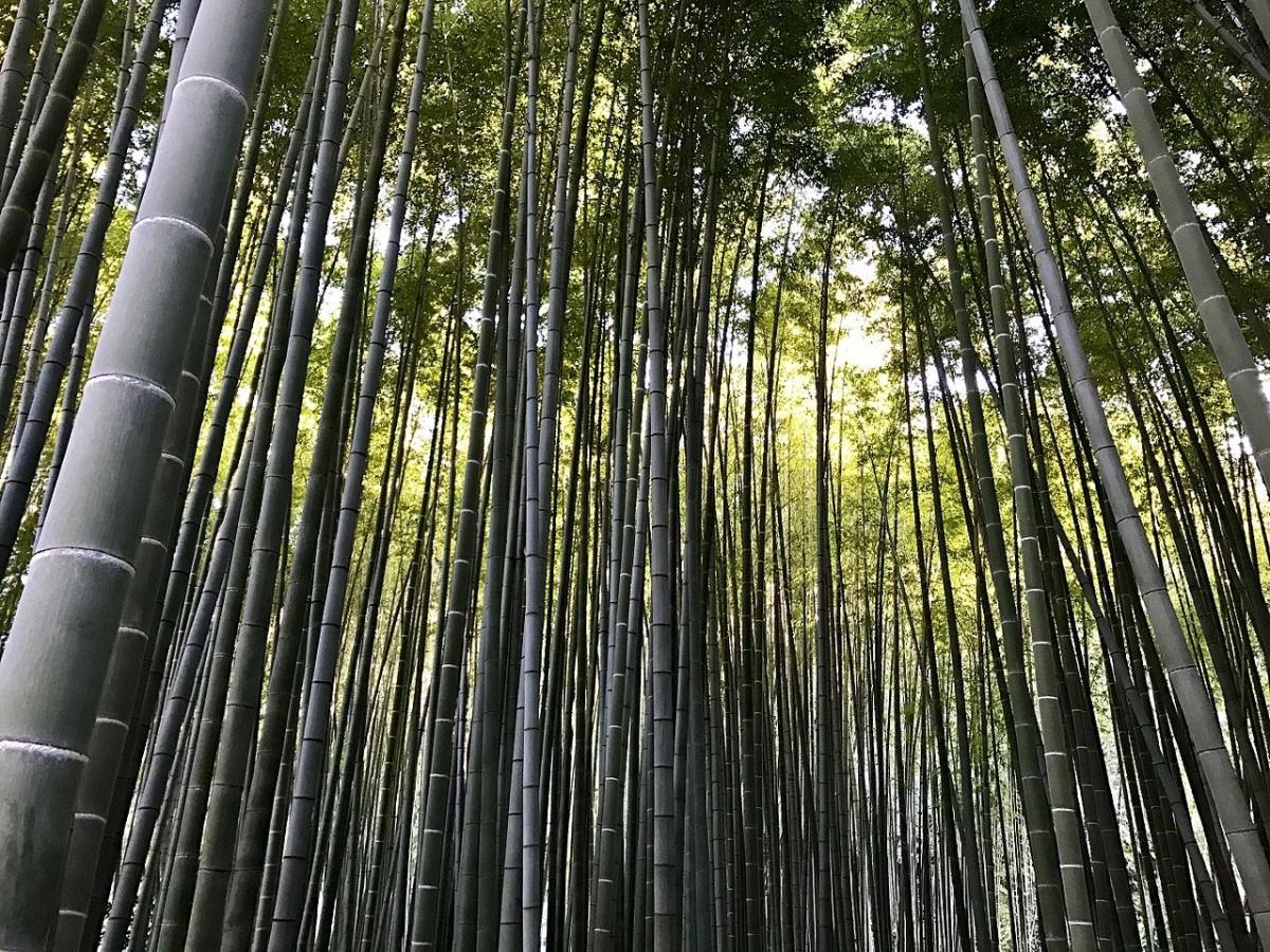 El bambú quiere mucho sol