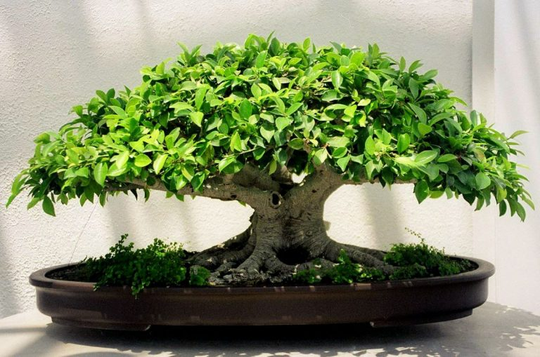 El bonsái de Ficus retusa es uno de los más comunes