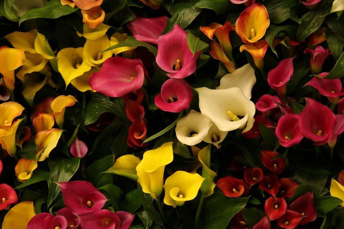 Las calas de colores son plantas semi acuáticas