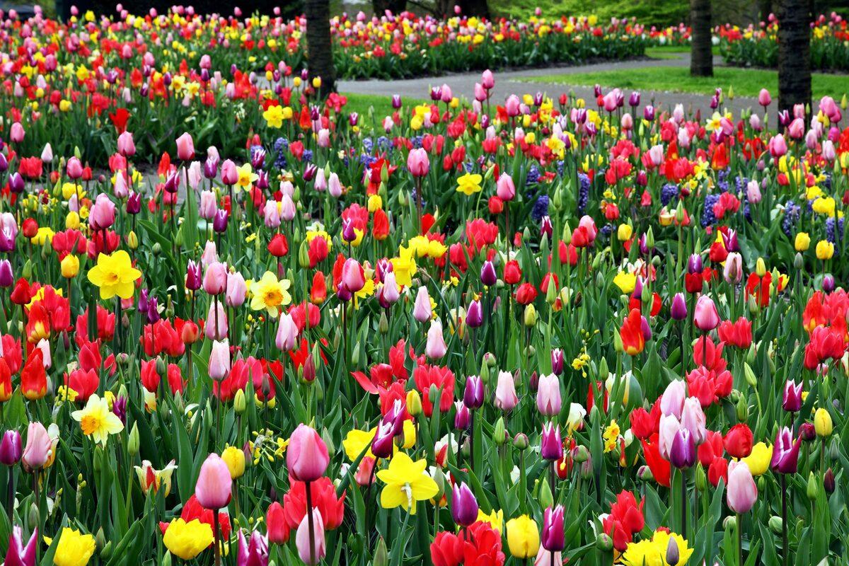 Los tulipanes son bulbosas que se plantan en suelo o maceta