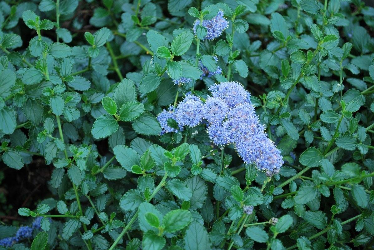 ceanothus thyrsiflorus flores