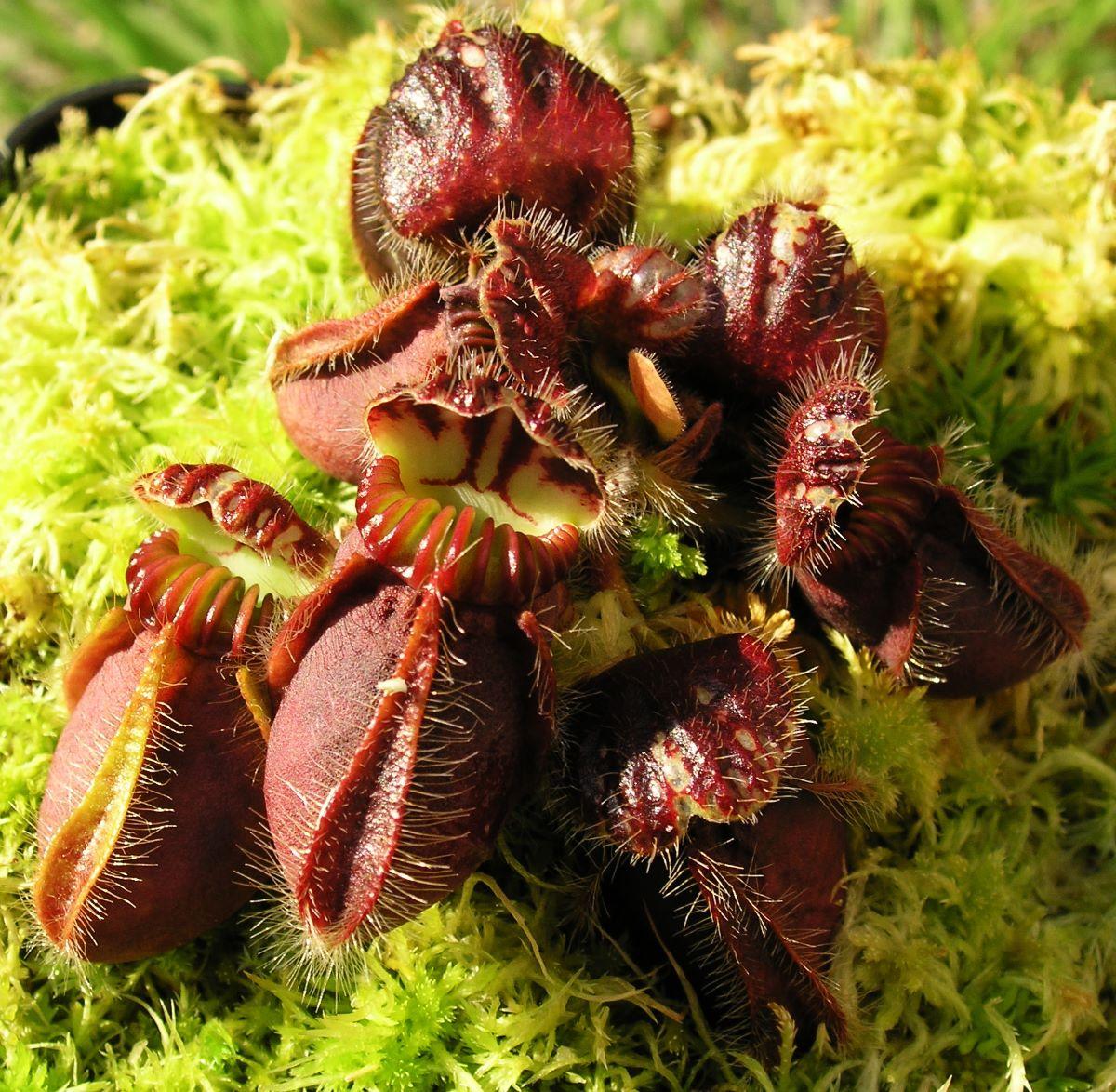 Los Cephalotus son carnívoras pequeñas
