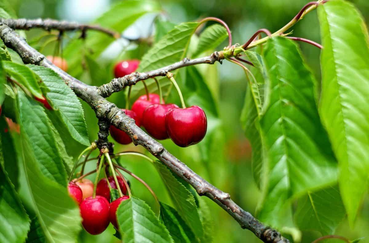 El cerezo es un árbol frutal
