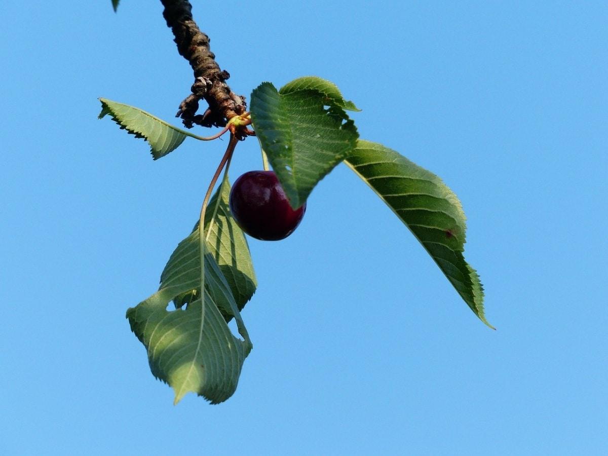 Los cerezos pueden tener plagas