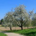Los cerezos son árboles grandes