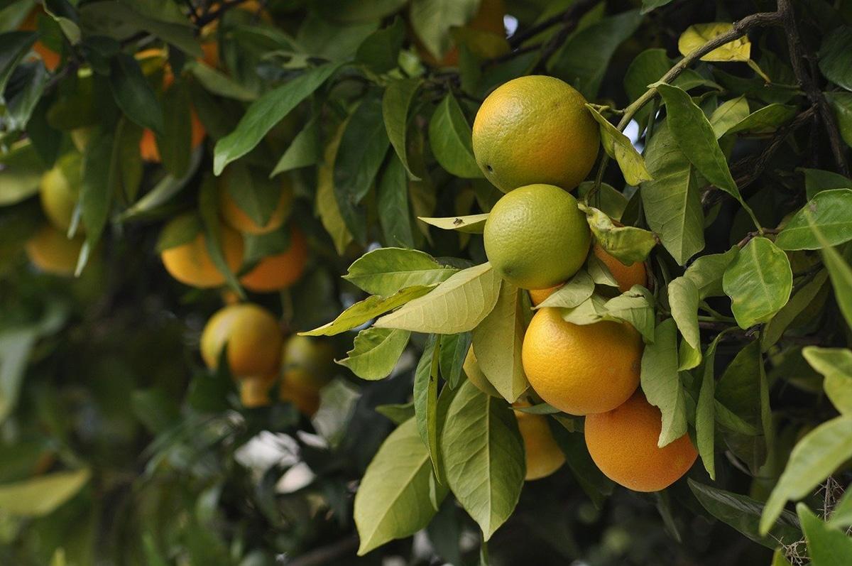 Las citoquininas tienen muchas aplicaciones a nivel agrícola