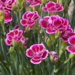 El clavel florece buena parte del año