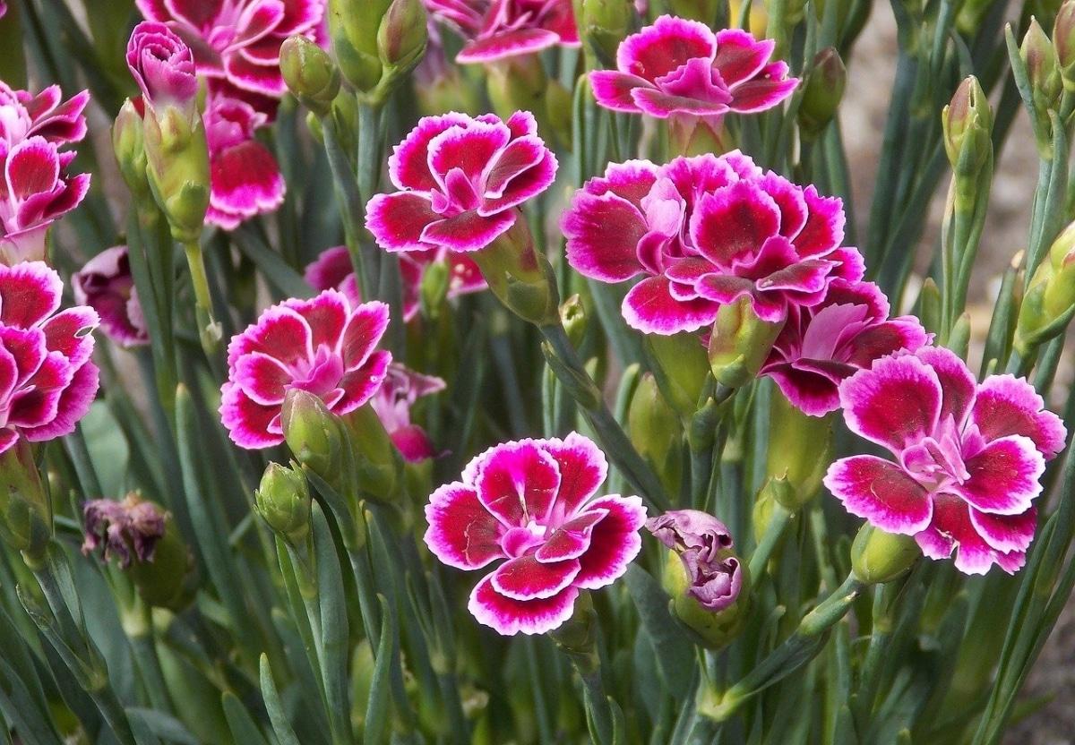 El clavel es una planta vivaz de sol