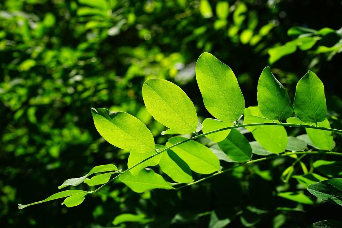 La clorofila es el pigmento verde de las plantas
