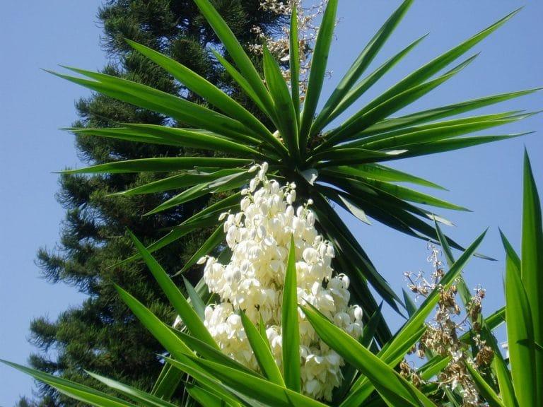 cuidados de las plantas Yucca en exteriores