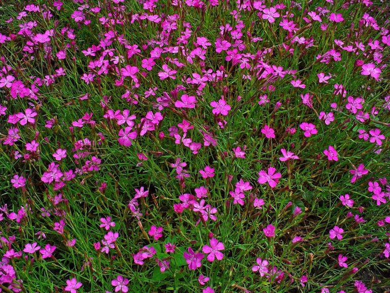 dianthus deltoides planta tapizante