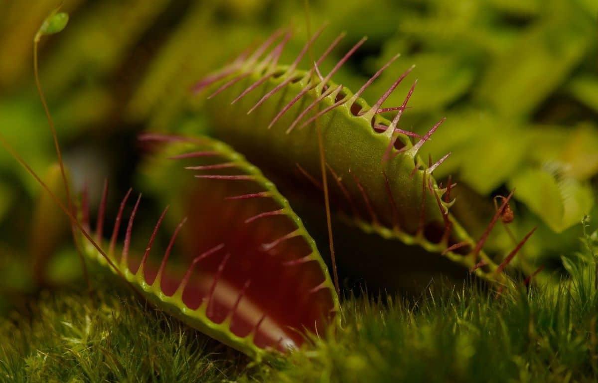 La planta carnívora más conocida es la venus atrapamoscas