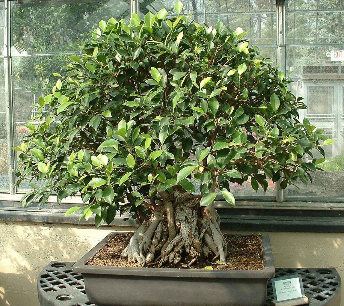 El bonsai de Ficus retusa se poda de vez en cuando