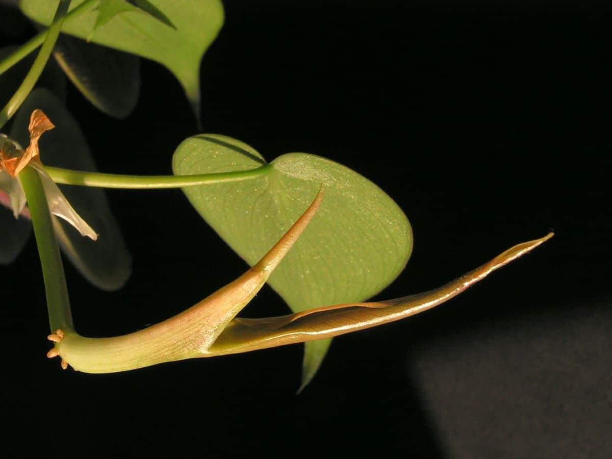 El filodendron se puede tener como planta colgante