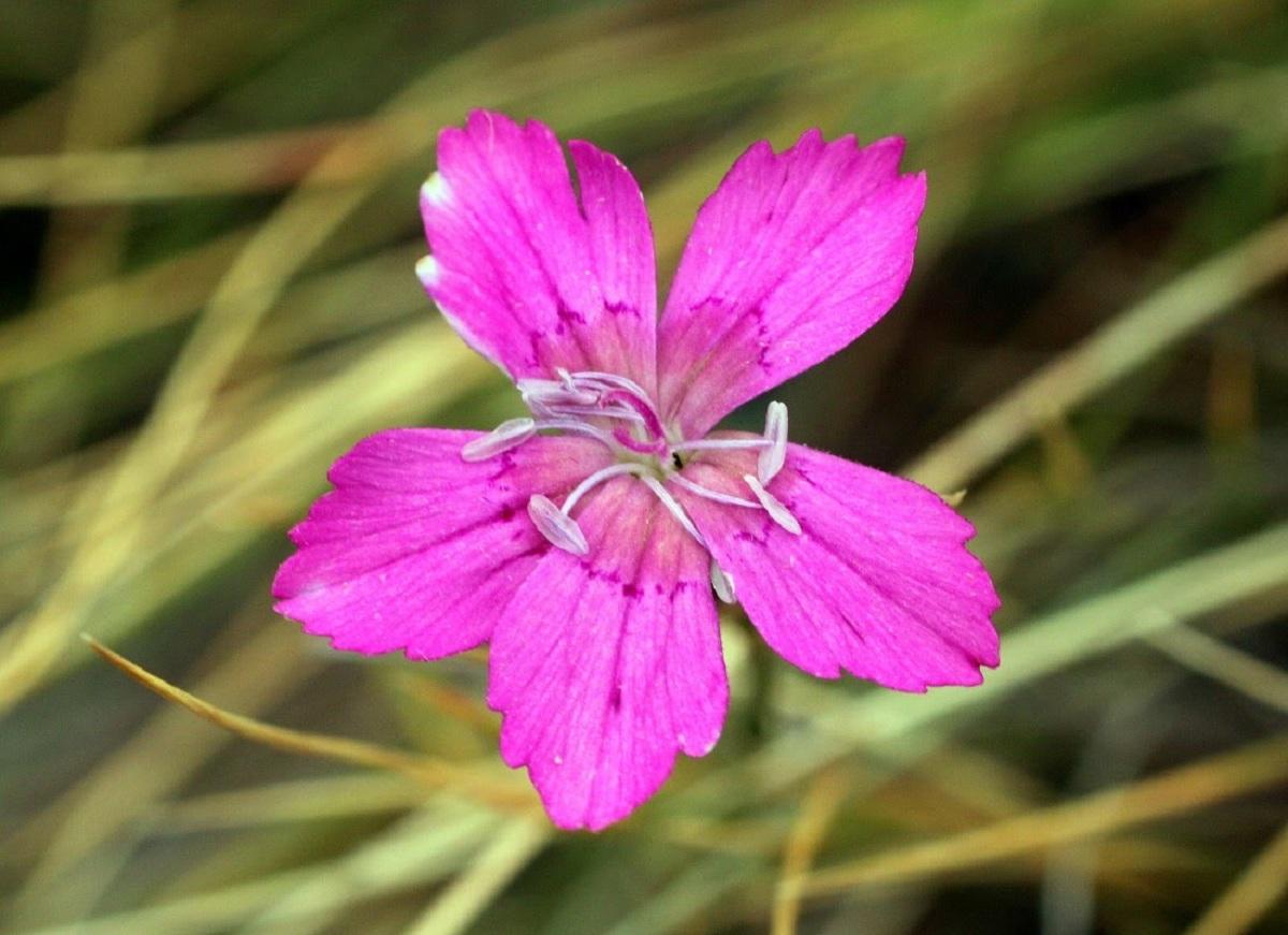 flor de la clavelina