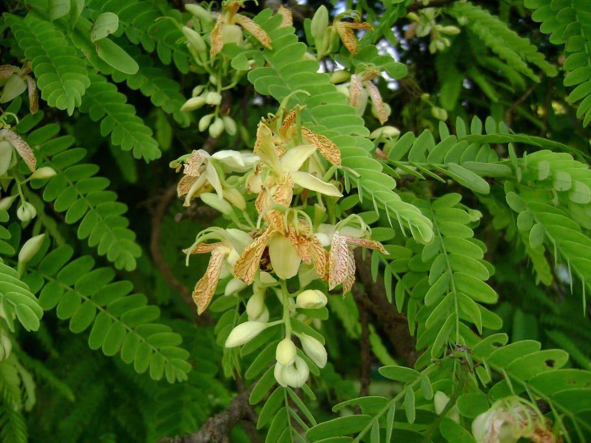 Las flores del tamarindo aparecen en primavera