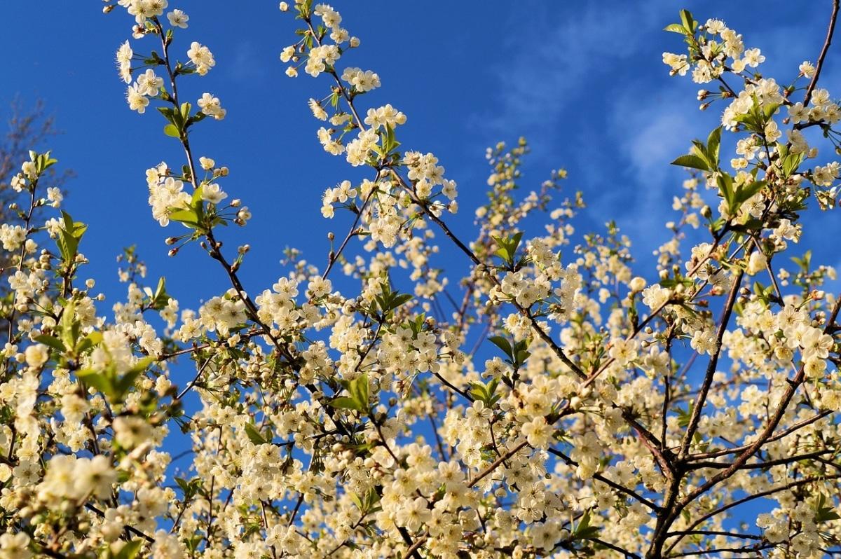 El cerezo es un árbol de exterior