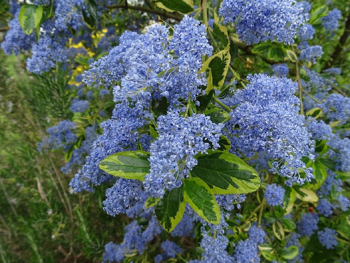 flores del lilo de california