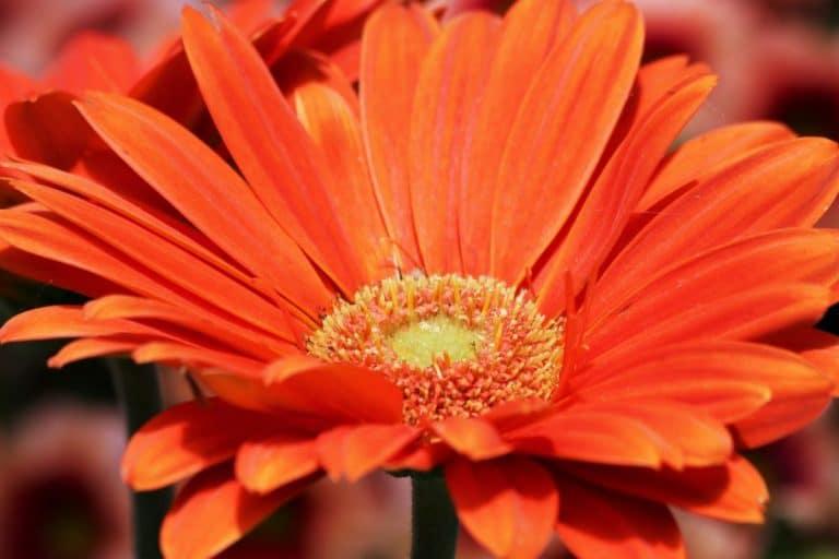 La gerbera es una planta herbácea