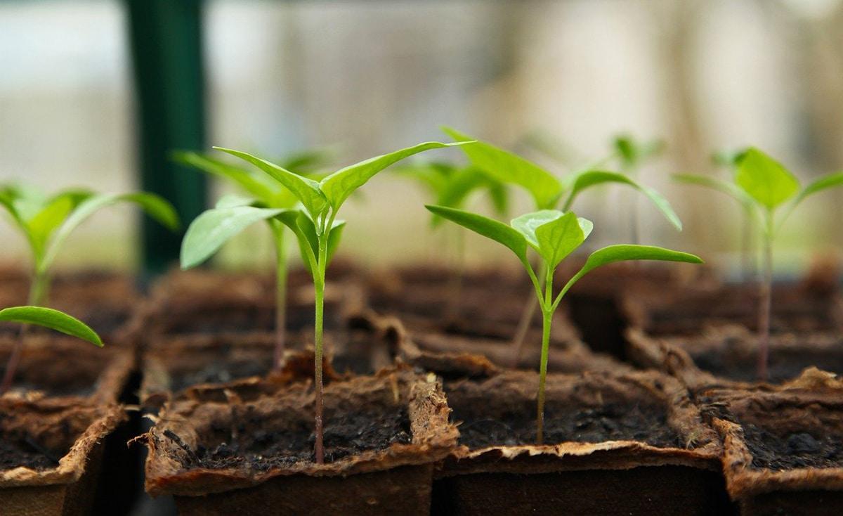 Las GAs se utilizan para modificar genéticamente a las plantas