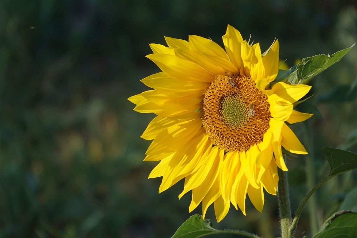 El girasol es una flor amante del sol