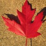 Las hojas del Acer saccharinum se vuelven rojas en otoño
