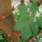 Las hojas del Acer griseum son verdes