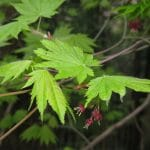 Las hojas del Acer japonicum son verdes
