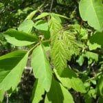 Las hojas del Acer negundo son verdes