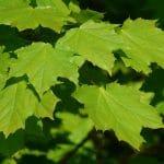 Las hojas del arce platanoides son grandes