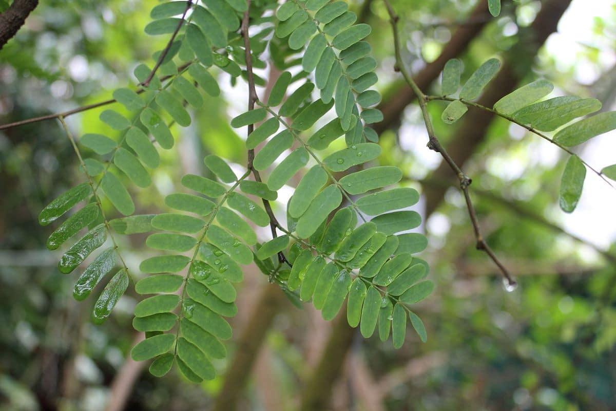 Las hojas del tamarindo son verdes