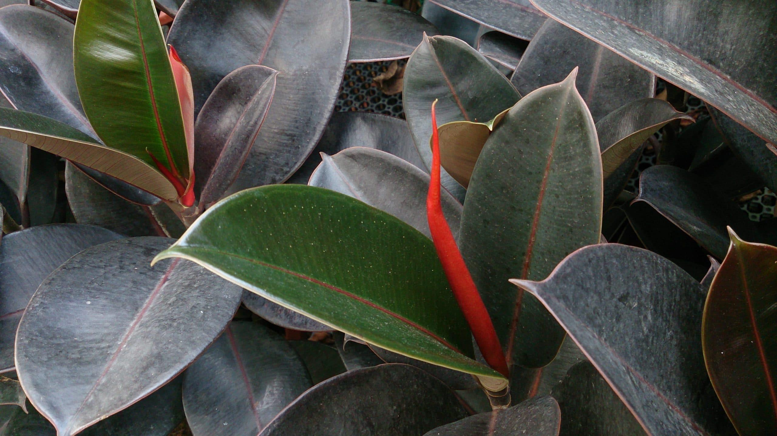 hojas grandes verdes intensas