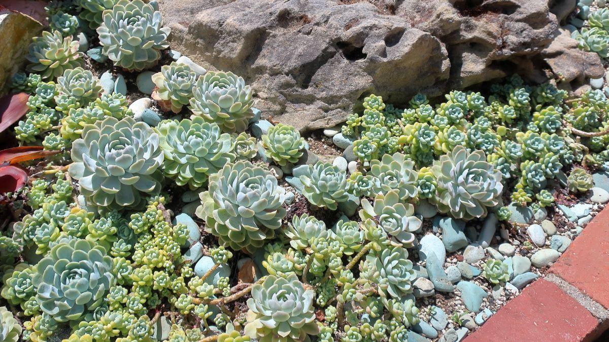 En un jardín se pueden tener muchos tipos de suculentas