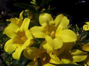 El jazmín puede tener flores amarillas o blancas