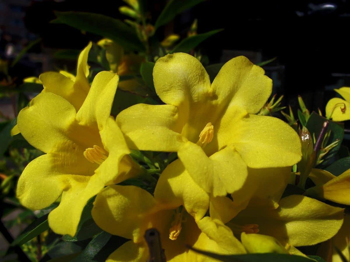 El Jasminum humile es una trepadora perennifolia