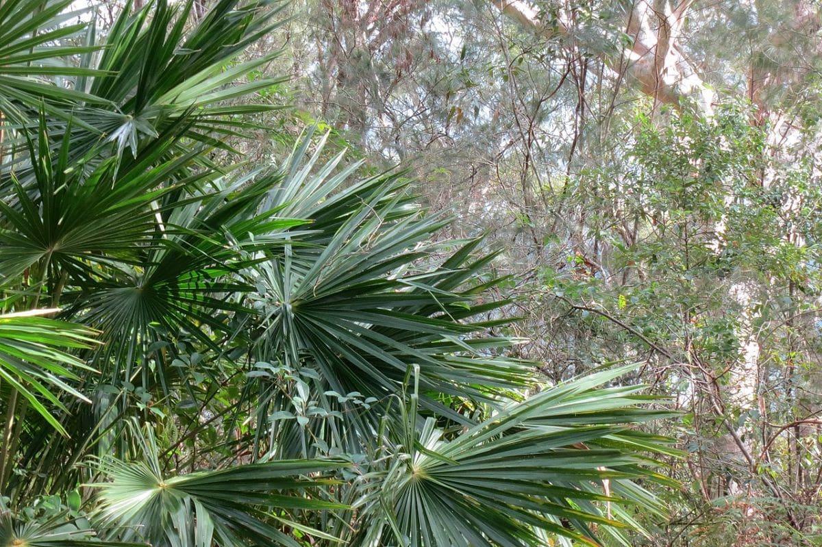A Livistona egy szép pálmafa