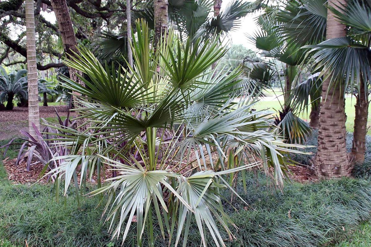 A Livistona fulva egy rusztikus pálmafa