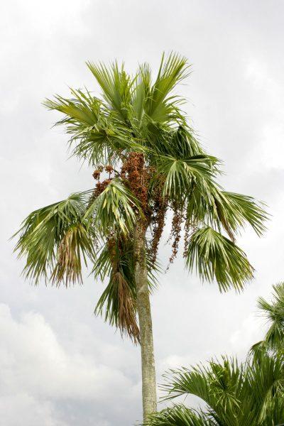 A Livistona rotundifolia magas pálmafa