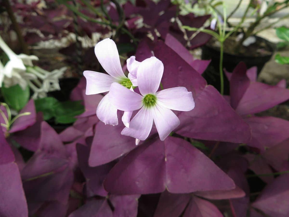 El trébol morado es una planta colgante de interior muy bonita