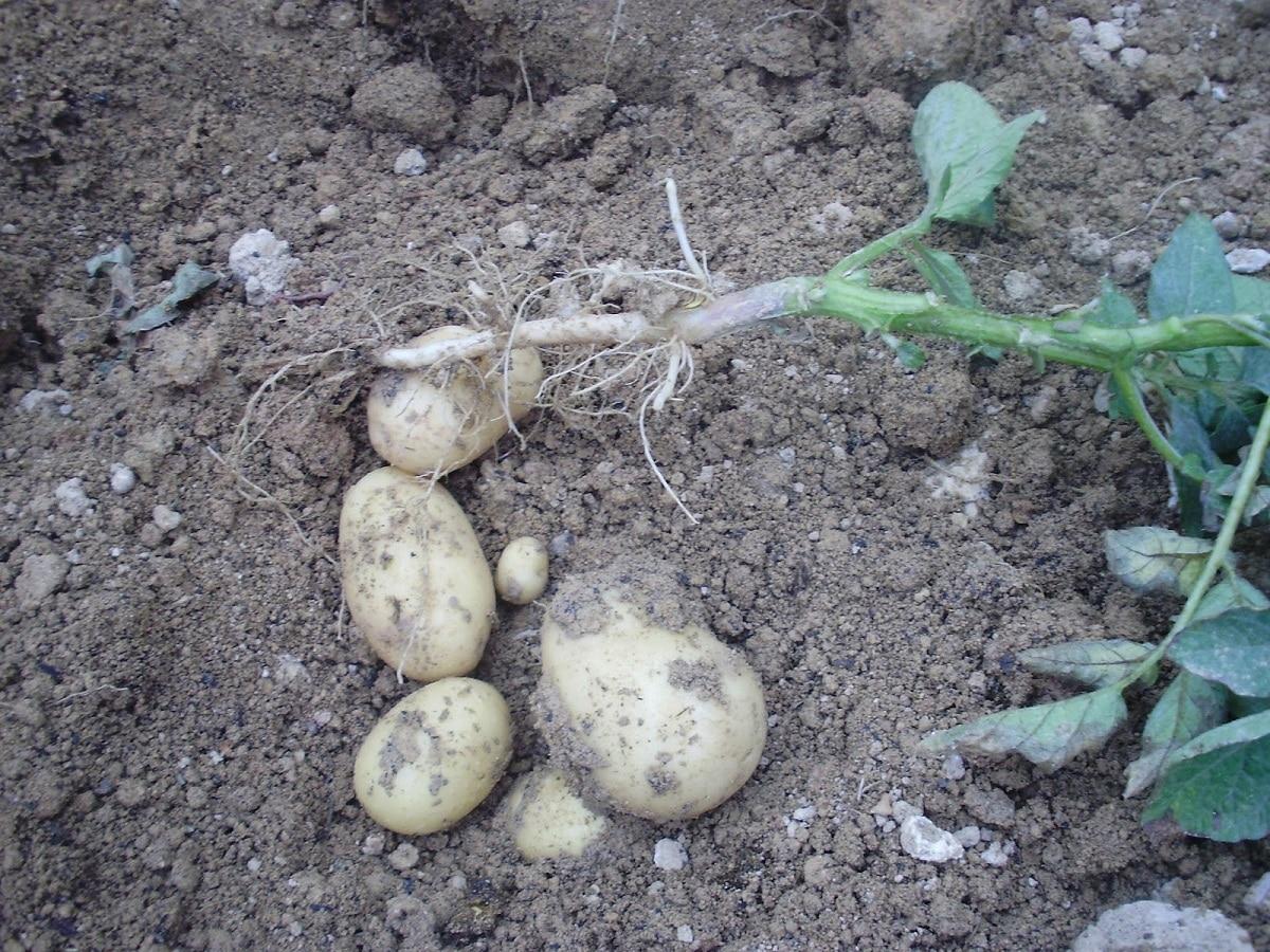 patata en la tierra