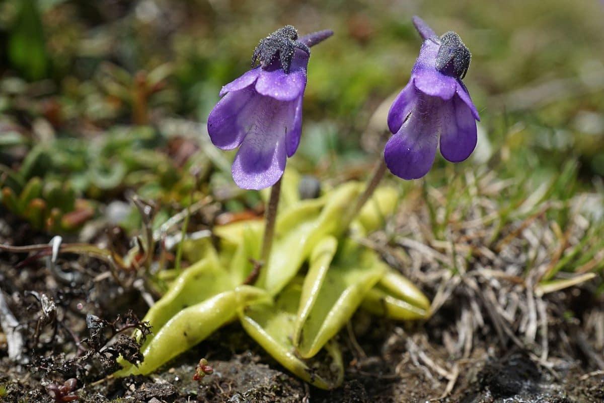 La Pinguicula vulgaris es una carnívora de flores lilas