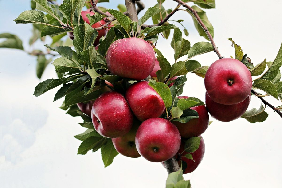 Plantar arboles frutales