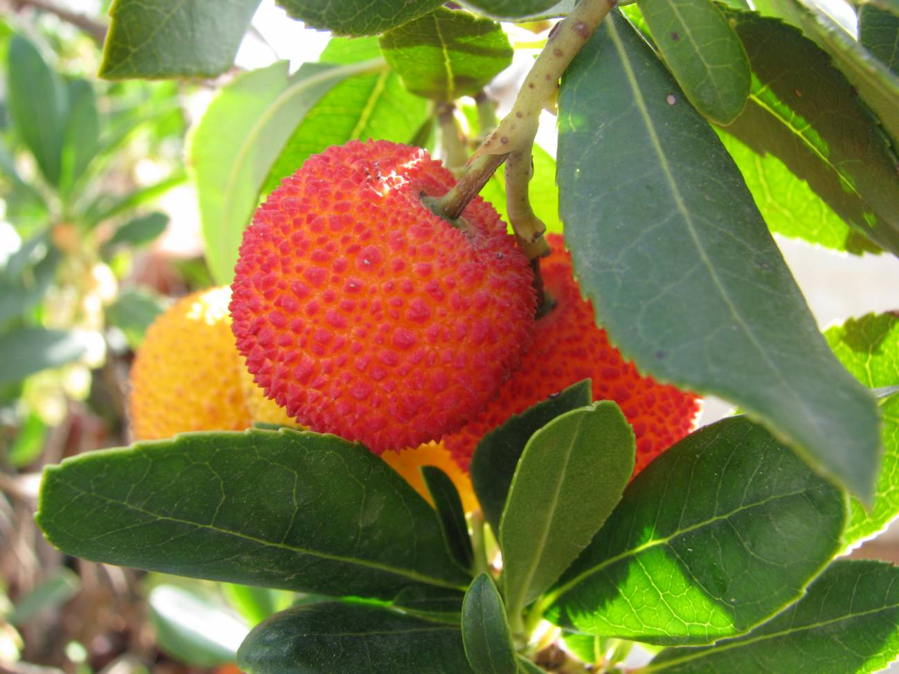 prune the young strawberry tree