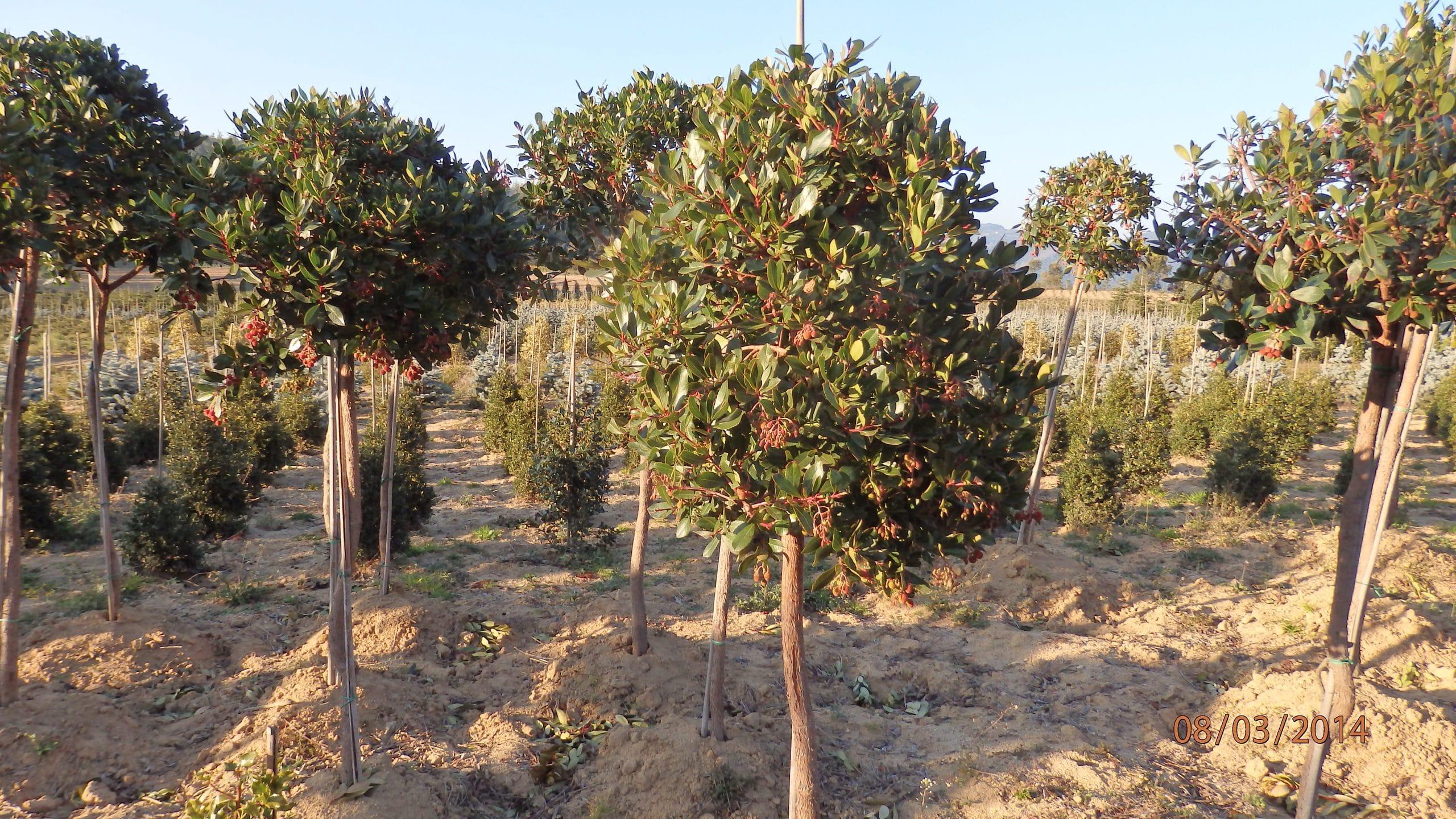 prune the strawberry tree